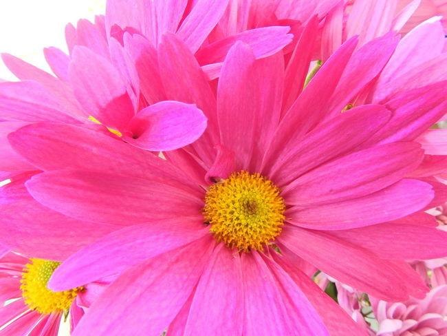 Beauty In Nature Close-up Flower Flower Head Flowering Plant Fragility Freshness Full Frame Inflorescence Petal Pink Color Pollen Vulnerability