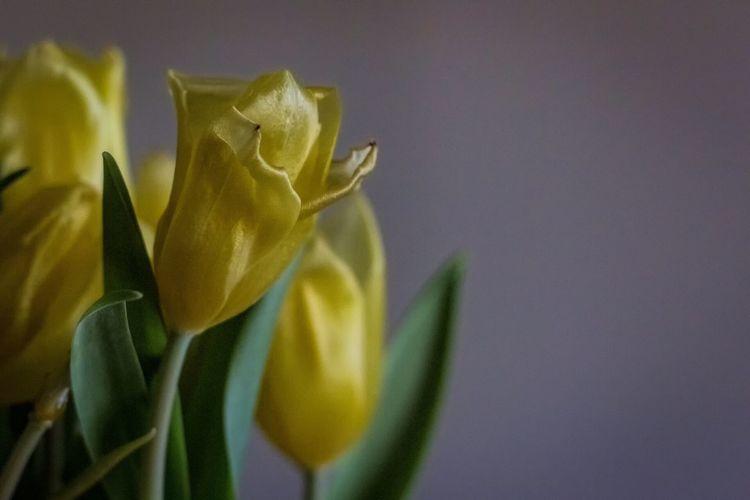 Happy Easter! Easter Tulips Flowers EyeEm Best Shots The Week On Eyem Showcase: March Yellow Yellow Flower Yellow Flowers