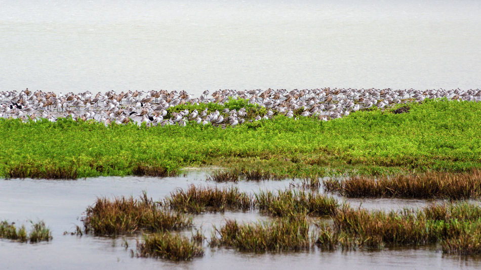 Animal Animal Themes Beauty In Nature Day Environment Field Grass Group Of Animals Lake Land Landscape Large Group Of Animals Nature No People Outdoors Plant Sand Piper Scenics - Nature Swamp Tranquil Scene Tranquility Water