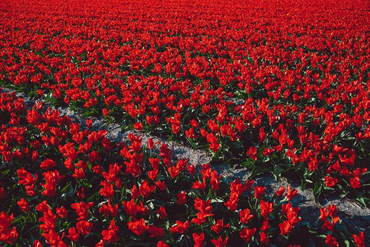 Full frame shot of red flowering plants on field