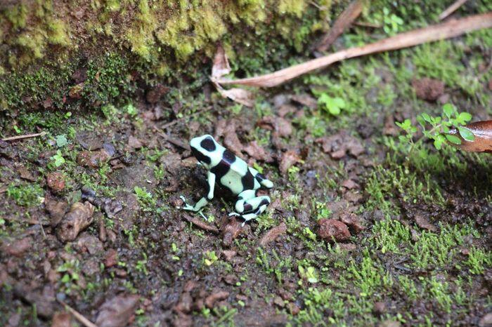 poison arrow frog Animal Themes Animals In The Wild Frog Nature Pfeilgiftfrosch Poison Arrow Frog