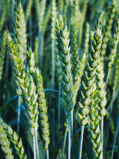 Growth Growth Plant Green Color Beauty In Nature Close-up Nature No People Day Agriculture Field Crop  Outdoors Freshness