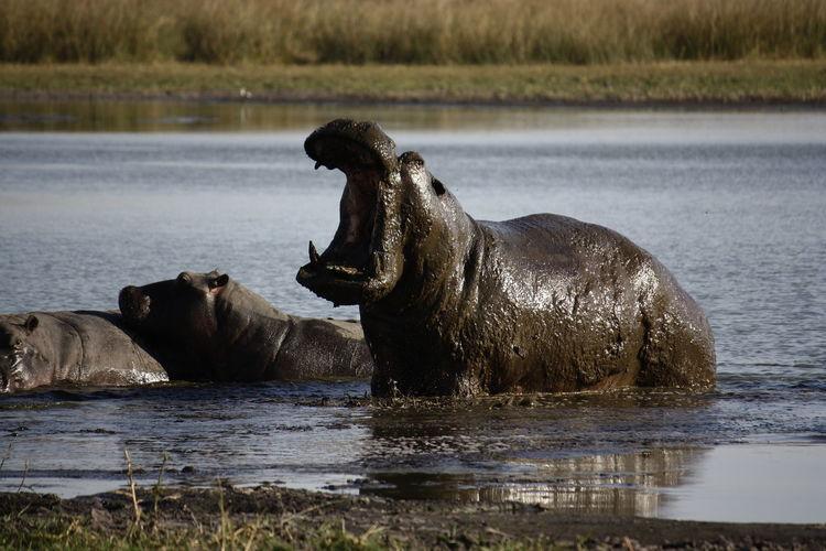 Hippopotamuses In Lake