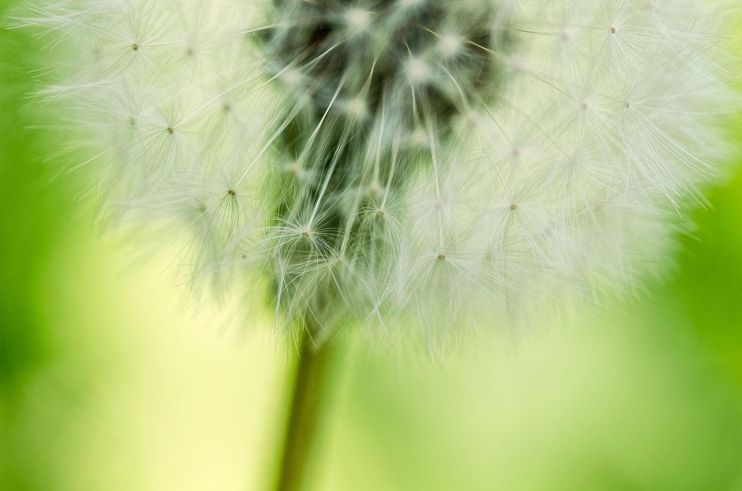 dandelion, growth, flower, fragility, close-up, freshness, nature, beauty in nature, single flower, flower head, softness, selective focus, focus on foreground, plant, uncultivated, wildflower, stem, dandelion seed, day, outdoors