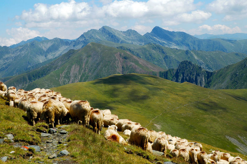 Flock of sheep grazing on grassy field