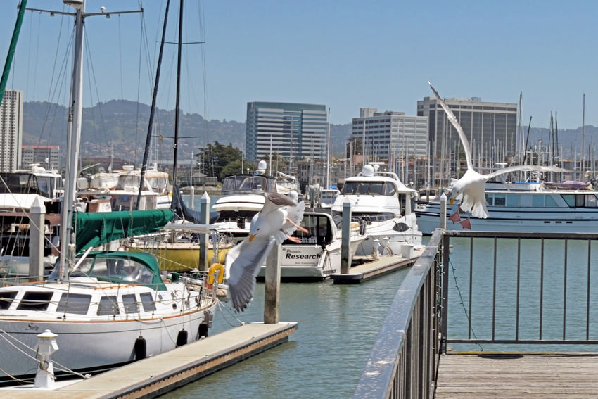California Gulls Take Off 3 Larus Californicus Emeryville Marina Seagulls Forager Pacific Coasts Diet: Most Anything Including Other Young Birds Birds Birdwatching Birds In Flight Birds_collection Bird Photography Sailboats Sailboat Masts Yachts Seabirds Oakland Skyline