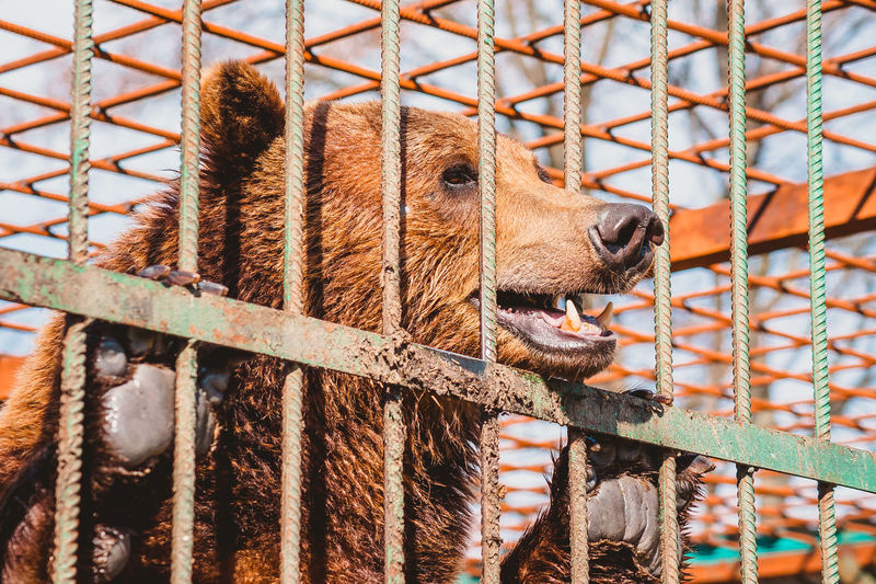 The brown bear holds on to the metal rods of the cage with its paws. keeping a wild animal