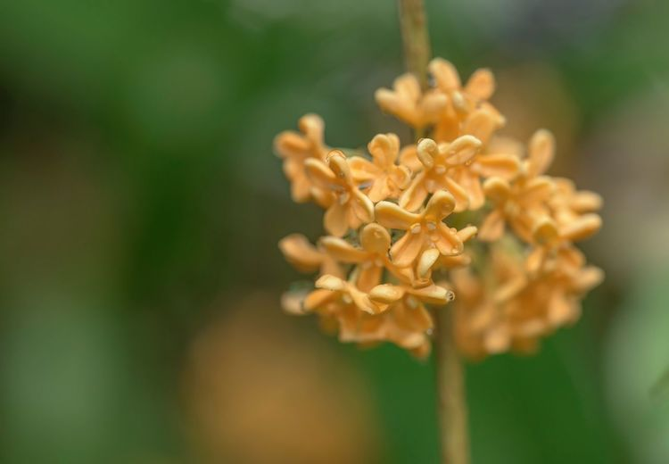 甘い香りに誘われて EyeEm Nature Lover Popular Photos Macro Macro_collection Flowers Fragrant Olive Sweet Osmanthus Flower Hanging Out To Take Off Daily Eye4photography  良い匂いなんだけど… 有る意味強烈💦