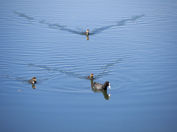 Coot bird family swimming and feeding on the lake