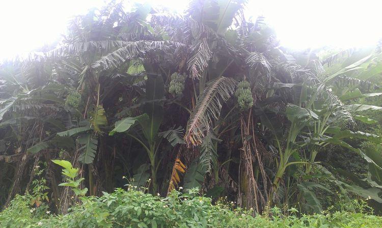發現野生香蕉 Bannana Bannana Tree Country Road 三坑