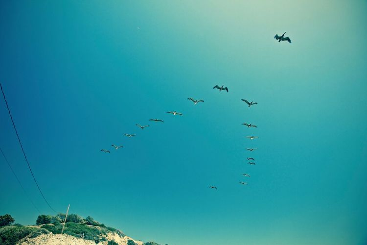 Flock of birds flying against clear blue sky