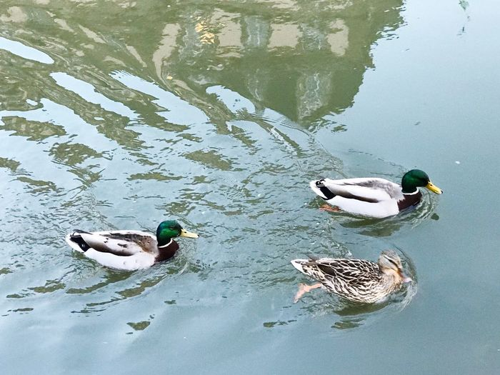 Duck Race in
