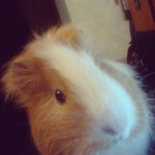 Esther My Guinea Pig pet porcellino d'india sweet lovley face instaphoto instamoment memory