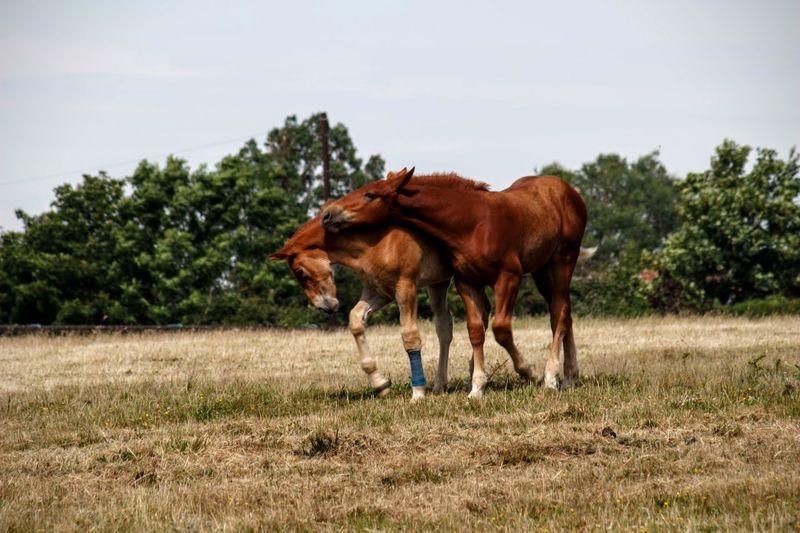 Brown horses on field against sky