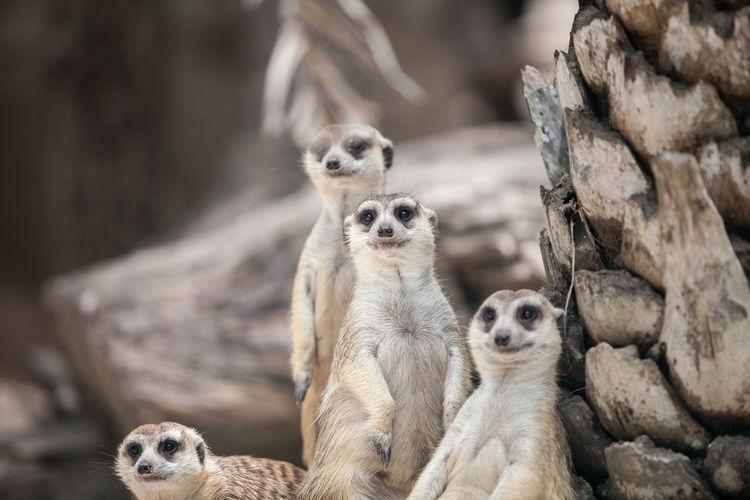 Meerkats in forest
