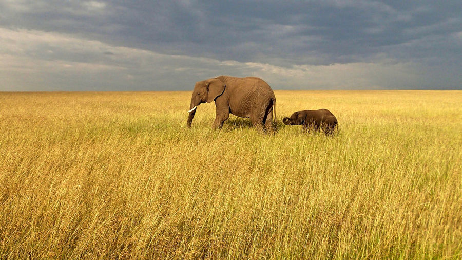 Elephants on grassy field against cloudy sky