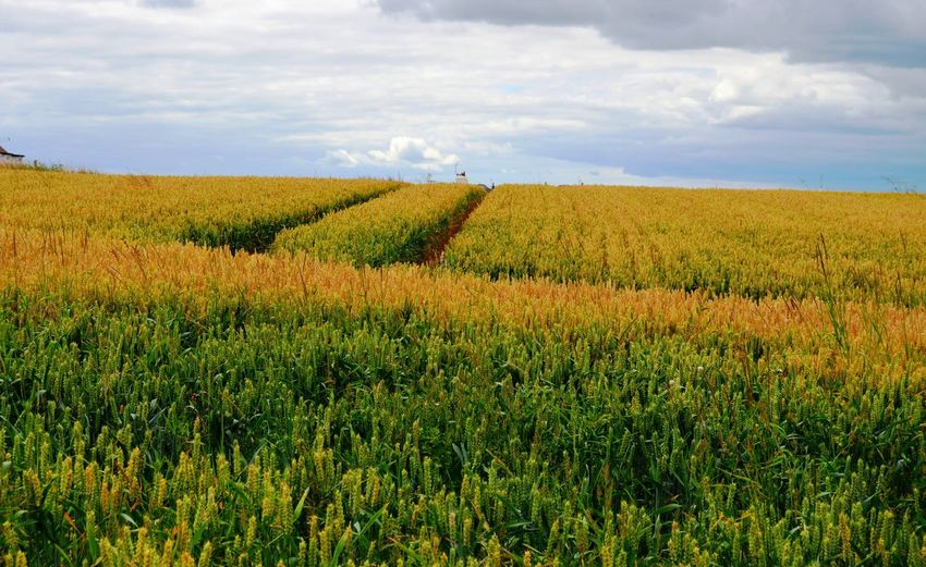 Yellowish Cereal Field in England Landscape Cloud - Sky Sky Land Field Plant Growth Environment Agriculture Rural Scene Beauty In Nature Nature Scenics - Nature Day Crop  Farm No People Tranquil Scene Tranquility Outdoors Cereal Plant Cereal Field Yellowish Path Pathway