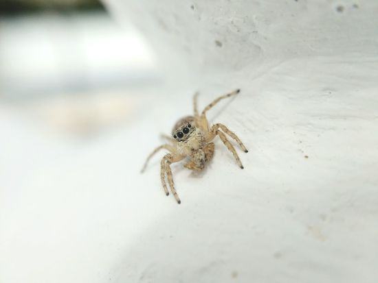 I ate my husband Eyes Nature Bug Macro Macro Nature Macro Photography Tiny World Close Up EyeEm Selects Insect Spider Jumping Spider Spider Web Close-up Animal Themes Arachnid Prey Web Survival