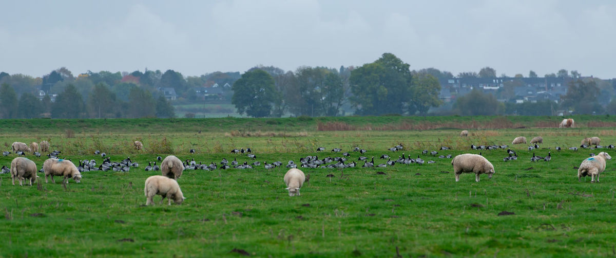Barnacle goose grazing while grazing before hike south