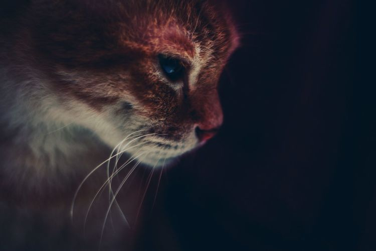 Ginger Cat Black Background Pets Portrait Feline Studio Shot Domestic Cat Whisker Leopard Close-up Undomesticated Cat Animal Eye Tiger Big Cat Cat Family Ginger Cat HUAWEI Photo Award: After Dark A New Beginning My Best Photo