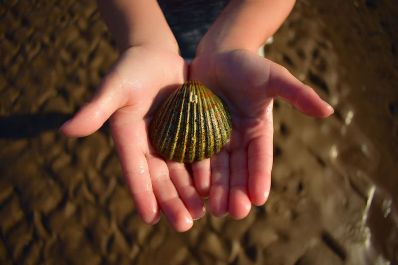 Close up of child's hand holding a sea shell at the beach