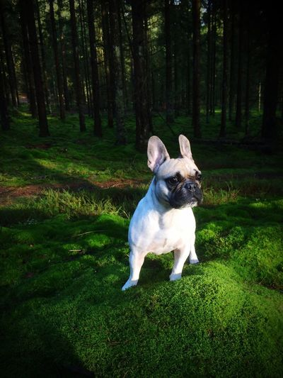 Aqva! Franskbulldog Dog❤ Neture