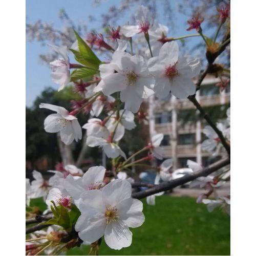 很久没上 依旧是樱花 Cherry Blossoms