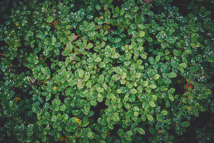 Green, somewhere in Iceland. Iceland Abundance Backgrounds Beauty In Nature Close-up Clover Day Foliage Food And Drink Freshness Fujifilm Full Frame Green Color Growth Land Leaf Lush Foliage Nature No People Outdoors Plant Plant Part Tranquility X-t2