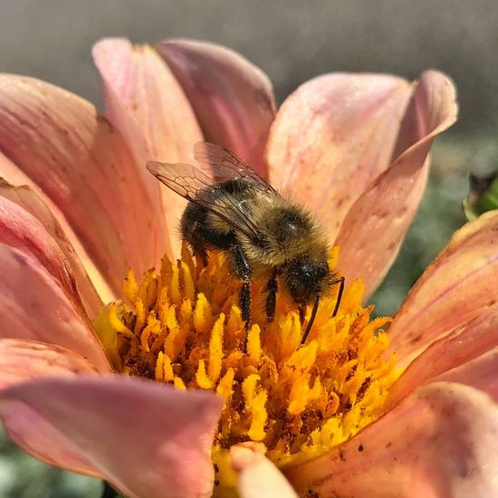 Honeybee Bee Flower Petal Insect Plant Pollen