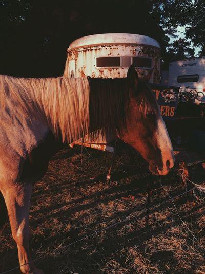 horse Horse Domestic Animals Livestock Mane Bridle EyeEmNewHere