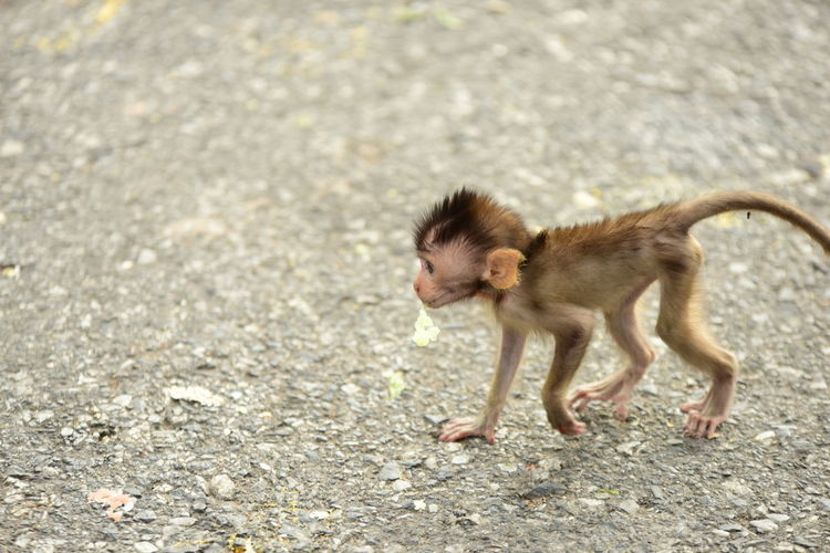 Baboon Outdoors Road Full Length Side View Nature Young Animal Day Running Motion Vertebrate No People Animals In The Wild Primate Animal Wildlife One Animal Mammal
