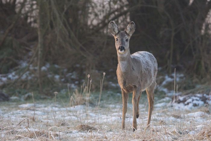 Sunrise Wildlife Winter Reh Animals In The Wild Field Animal Themes Animal Wildlife Mammal Deer One Animal Nature Focus On Foreground Young Animal Looking At Camera Portrait
