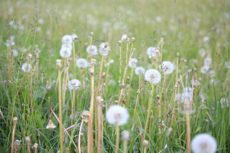 Beauty In Nature Blooming Close-up Daisy Dandelion Day Field Flower Flower Head Focus On Foreground Fragility Freshness Grass Green Color Growth In Bloom Meadow Nature Petal Plant Selective Focus Stem White White Color Wildflower
