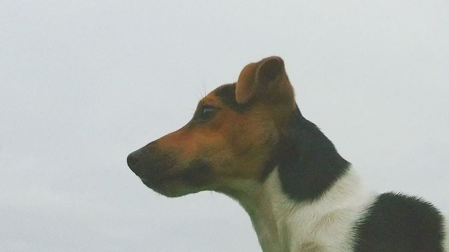 My Dog Mini Jack Russell Terrier Head And Shoulders Hunting