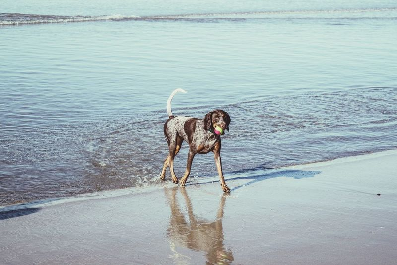 Dog carrying ball in mouth while walking on shore