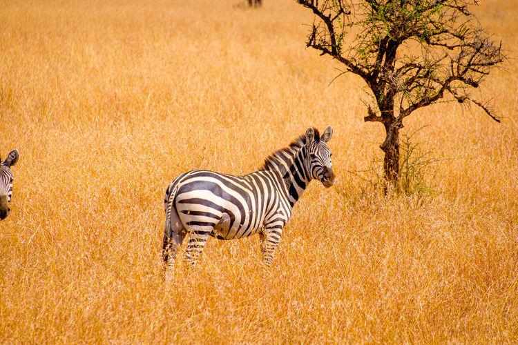 View of a zebra on landscape
