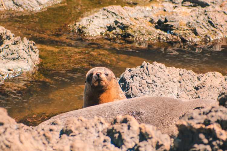 Portrait of seal on rock against sea