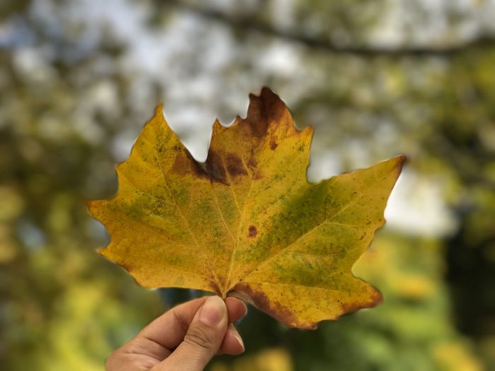 Autumn Leaf Autumn Leaf Change Focus On Foreground Maple Maple Leaf Day Nature Outdoors Close-up One Person Beauty In Nature Human Hand