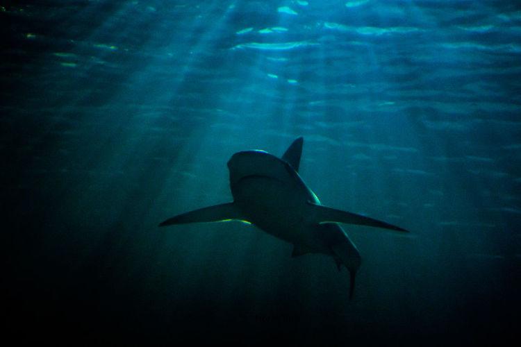 shark Animal Holland Light And Shadow Light Rays Netherland Rotterdam Shark Under Water Zoo