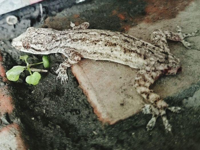 疣尾蝎虎Hemidactylus frenatus Waiting