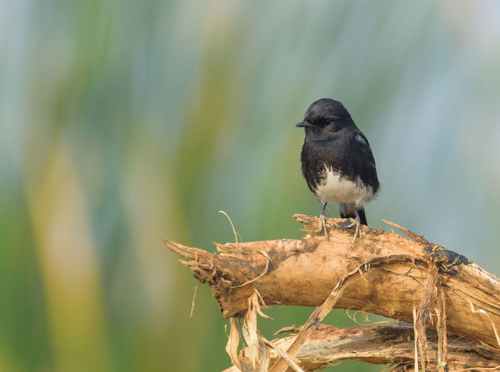 pied bushchat male Delhi Nikon Nikond750 Animal Themes Animal Wildlife Animals In The Wild Bird Blackbird Bushchat Close-up D750 Day Nature Nikonphotography No People One Animal Outdoors Perching Pied Bushchat Male Wildlife