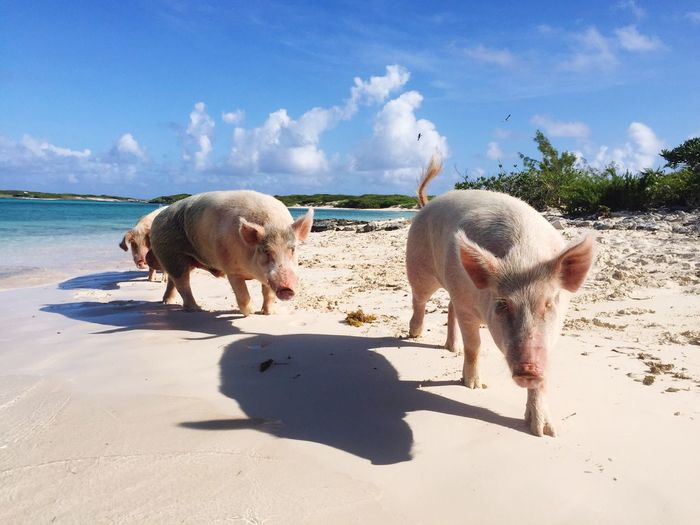 Pigs walking at beach during sunny day