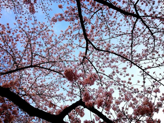 View From Below Cherry Blossoms Sky And Cherry Blossom Blue Sky And Cherry Tree Spring Flowers