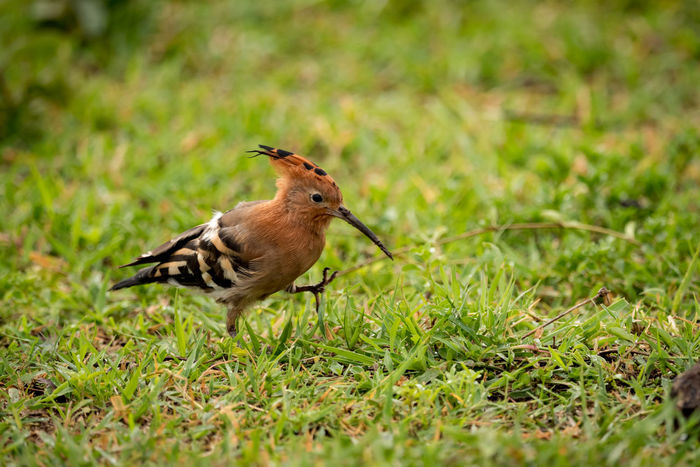 African Hoopoe Bird Hoopoe Wildlife