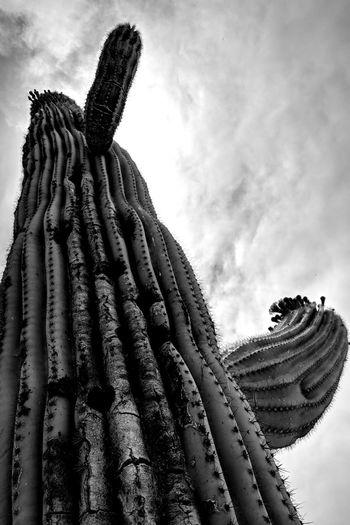 Sonoran Desert Arizona saguaro cactus in bloom Apache Junction EyeEm Best Shots Saguaro Cactus Sky Cloud - Sky