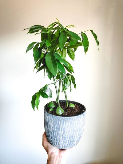 Close-up of person holding potted plant against wall