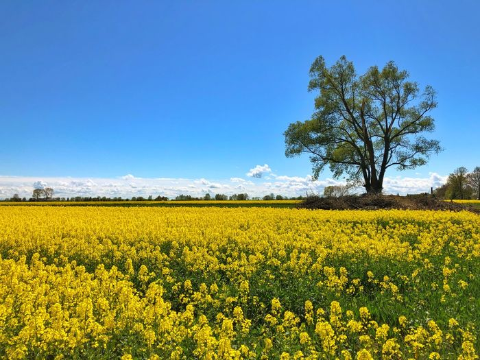 Field Colza Rapeseed Yellow Nature Sky Horizon Blue Beauty In Nature Plant Landscape Agriculture Land Rural Scene Growth Tranquil Scene Flower Scenics - Nature Tranquility Oilseed Rape Environment Flowering Plant Farm Crop  No People Springtime Outdoors