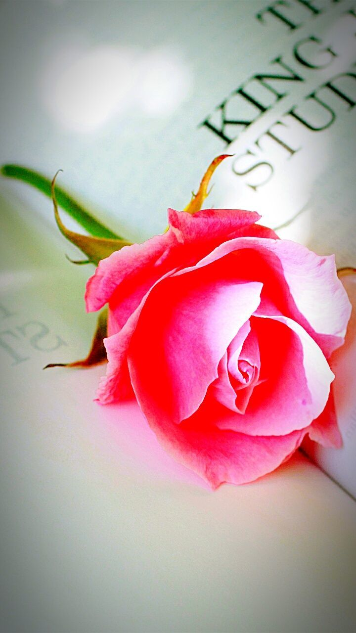 flower, petal, rose - flower, fragility, close-up, pink color, nature, text, beauty in nature, flower head, no people, freshness, day, indoors