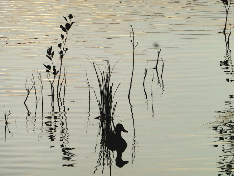 Lake Lucky Shot Landscape Duck Showing Imperfection My Favorite Photo Water Reflections Nature Water LacBouvent Bourg En Bresse Canards Birds Reflections Reflets True Colors Water_collection Waterreflections  Ducks Plants