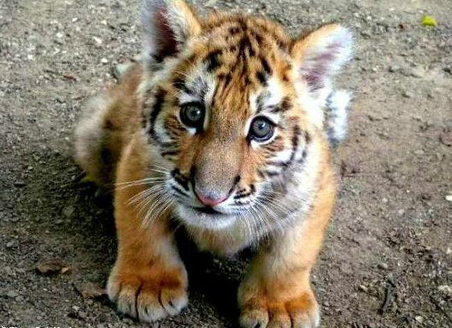 Cute Animals Tiger-love Tiger Eyes  Tiger Save Animals Indian EyeEmbestshots EyeEm Nature Lover